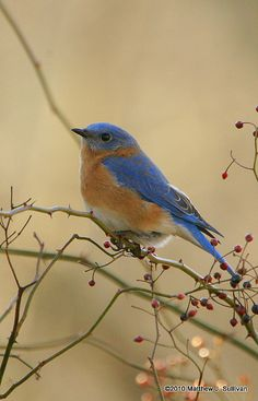 ~~Bluebird on Berries by MattSullivan~~