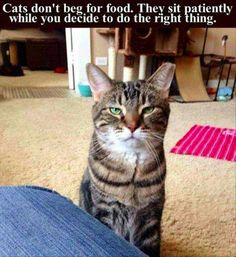 Cats Don't Beg For Food cute animals cat cats adorable animal kittens pets kitten funny pictures funny animals funny cats.That face😑🤗🤗😝😎😜😚 Funny Animal Pictures, Cute Funny Animals, Cute Cats, Animal Pics, Funniest Animals, Cat Fun, Adorable Kittens, Food Pictures, Funny Cat Memes