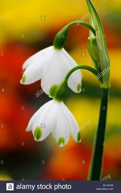 Download this stock image: Galanthus - Schneeglöckchen - M11GYW from Alamy's library of millions of high resolution stock photos, illustrations and vectors.
