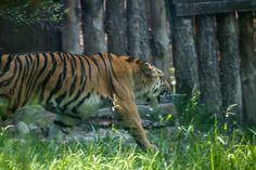 La tigre LUVA, nuova arrivata al Parco Natura Viva [foto di Fabrizio Pedrazza] #gardaconcierge