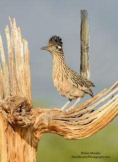 Roadrunner (Geococcyx californianus) found throughout the Southwestern United States Pretty Birds, Love Birds, Beautiful Birds, Animals Beautiful, Especie Animal, Mundo Animal, Bird Pictures, Animal Pictures, Desert Animals
