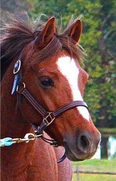 Welsh Pony Gelding For Sale in Pennsylvania, 13.2 hh