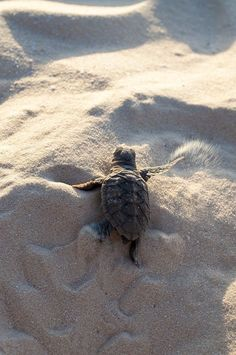 by Xavier Hoenner - Photo 170629433 / can find Baby turtles and more on our website. by Xavier Hoenner - Photo 170629433 / Baby Animals Pictures, Cute Animal Pictures, Cute Little Animals, Cute Funny Animals, Cute Baby Turtles, Sea Turtle Pictures, Save The Sea Turtles, Underwater Animals, Animal Wallpaper