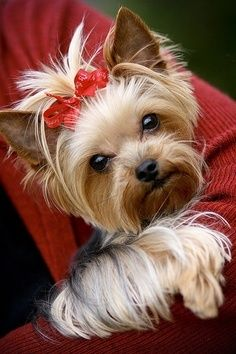 Look at this little Yorkie princess! I love Yorkies...and I miss mine :-(