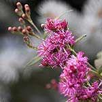 Ironweed, Vernonia noveboracensis