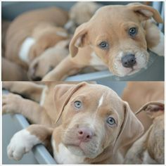 Pitbull puppies blue and red ♥
