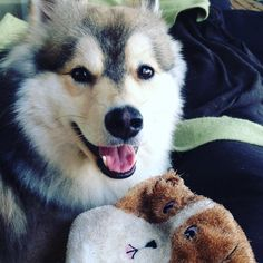 """Que rico domingo en casita! Happy sunday at home! @kanumascotas #kanustars #pomsky #puppy #dog #happydog  #instapomsky #ilovemydog #instapets #instadog…"""