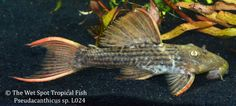 Pseudacanthicus sp L024