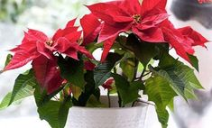 Get expert help on maintaining and caring for your indoor plants and house plants with these tips and ideas from HGTV. Christmas Plants, Christmas Flowers, All Things Christmas, Christmas Time, Christmas Decorations, Garden Plants, Indoor Plants, House Plants, Euphorbia Pulcherrima