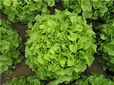 Green oakleaf lettuce Cedar is a medium sized blond-green oakleaf. Lettuce Seeds, Agriculture, Tropical, Herbs, Vegetables, Green, Herb, Vegetable Recipes, Veggies