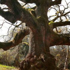 #quercia di #pinocchio #particolare #instagood #lonely_tree_love #tree #oak #albero