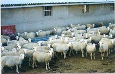 20131107_Feagas_Cien personas conocerán los secretos del Ternasco de Aragón, en la segunda agroescapada promovida por la Cámara Agraria de la provincia de Teruel