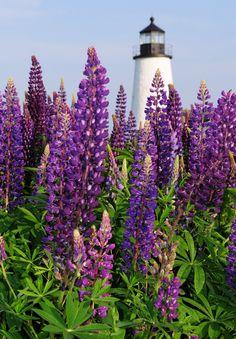 Pemaquid Lighthouse - Maine - Lupines