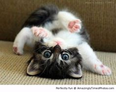 I do a back flip for you – Adorable kitten just likes to show off one of many talents. Photo by: Miguel L.