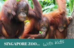 Singapore Zoo is one of the highlights if you are visiting Singapore with kids. Make the most of your day here, with these Singapore Zoo tips.