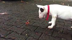 Bull terrier and a crab LOLOLOL @Meagan Millar @Annmarie Lodick (Tolfa)