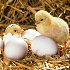 Mileposts: Do you think you know me? Cute Baby Animals, Farm Animals, Animals And Pets, Funny Animals, Baby Chickens, Chickens And Roosters, Don Pollo, Chicken Chick, Baby Ducks