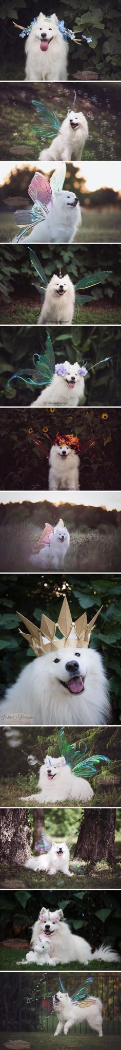 Magical samoyed
