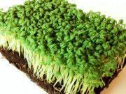 How to Grow Garden Cress Indoors (on Paper Towels or Soil)