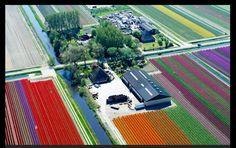 Holland Tulip bulb farm