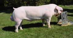 The American Landrace is a medium to large breed of domestic pig, white in colour, with long bodies, fine hair, long snouts, and heavy, drooping ears. They are bred for pork production.