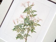 This fine art print of a pink jasmine naturalist study. The delicate branch is in pale greens with a sweet bouquet of pale pink jasmine flowers. The
