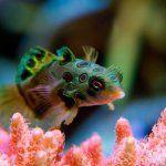 MANDARIN FISH HD WALLPAPERS