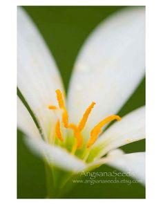 Flower photo Macro Nature photo 8x12 art print by AngsanaSeeds, $23.00