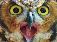 Great Horned Owl Found on www.flickr.com via Tumblr