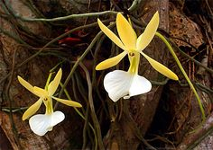 Ghost Orchid - Dendrophylax fawcetti