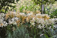 Golden spider lily and White spider lily | Flickr - Photo Sharing!