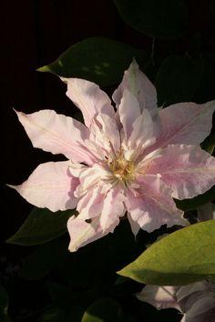 Hanne i haven: Clematis Prinsesse Alexandra og en lille opdatering