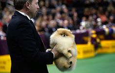 Westminster Dog Show: A Pomeranian is carried to be judged