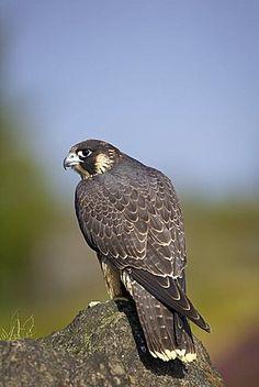 Captive Peregrine Falcon, Loughborough, Leicestershire, England