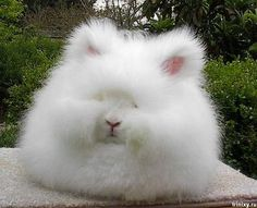 English Angora Rabbit....these are the little guys I had to keep myself from buying at the animal fiber fair :P