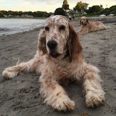 Instinct is strong in my two dogs to do what English setters do best, lounge.