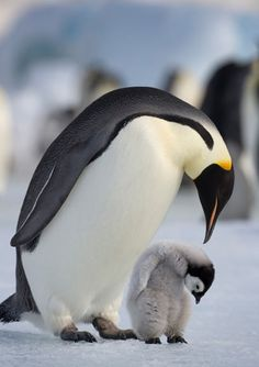 White Christmas: This Emperor penguin with its young chick stands on frozen sea ice in Antarctica Animals Images, Animals And Pets, Baby Animals, Animal Pictures, Funny Animals, Cute Animals, Cute Creatures, Beautiful Creatures, Beautiful Birds