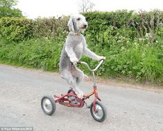 Barry the three-year-old Bedlington terrier rides his child's tricycle downhill in the Cumbrian countryside