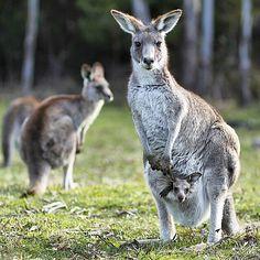 gorgeous photo of a kangaroo and her Joey at Tidbinbilla Nature Reserve by @taramada