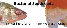 Septicemia Treatment  http://www.americanaquariumproducts.com/Vibrio_Aeromonas.html