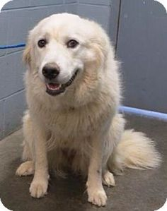 6/8/15 Palatine, IL - Great Pyrenees. Meet Maggie, a dog for adoption. http://www.adoptapet.com/pet/13120263-palatine-illinois-great-pyrenees