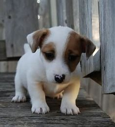 Jack Russell Terrier - A Dog in One Pack - Champion Dogs Perros Jack Russell, Jack Russell Dogs, Jack Russell Terrier, Cute Puppies, Cute Dogs, Dogs And Puppies, Dogs 101, Awesome Dogs, Chihuahua Dogs