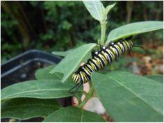 Asclepias native to Kentucky. Swamp Milkweed, Milkweed Plant, Plant Nursery, Garden Structures, Native Plants, Kentucky, Nativity, Columbia, Plant Leaves