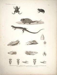 Frogs, Lizards. Description de l'Égypte Histoire naturelle, Plates Paris,Imprimerie impériale,1809-28. Biodiversitylibrary. Biodivlibrary. BHL. Biodiversity Heritage Library