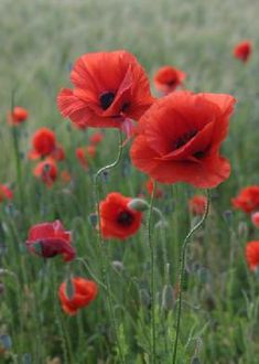 poppies – Famous Last Words Container Flowers, Container Plants, Succulent Containers, Fall Planters, Container Gardening Vegetables, Vegetable Gardening, Arte Floral, Red Poppies, Flower Power