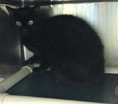 """TO BE KILLED 06-18-18 – LOVABLE POLO (30995) is 2 years old girl who came with her 5 housemates to the Staten Island Center as ACO IMPOUND/OWNER SURRENDER. Precious Polo is at risk due to behavior concerns as she is shy and shies away from touch. They say """"she is not acclimating well to care center life"""". What she should feel when they lock her in a cage all day??? ♥ Let's help Polo and her housemates to be adopted as quickly as possible! ♥ http://nyccats.urgentpodr.org/polo-30995/"""