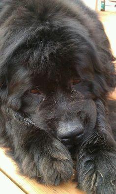 Newfie Girl Puppy Dogs Newfoundland Newf
