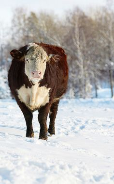 ....Hereford .Cow on a snowy winter day.....!!!!!!!!!!