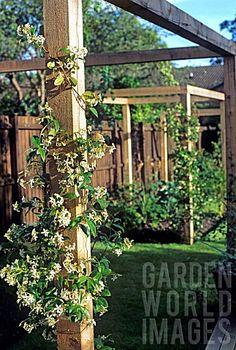 Google Image Result for http://www.gardenworldimages.com/ImageThumbs/AJ125318/3/AJ125318_TRACHELOSPERMUM_JASMINOIDES_STAR_JASMINE_GROWING_UP_WOODEN_PERGOLA.jpg
