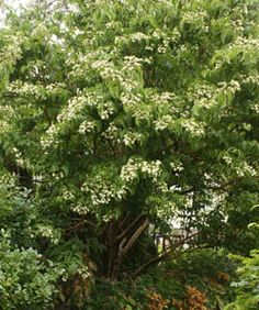 Seven-son flower (Heptacodium miconiodes) A large, fountain-shaped, multi-stemmed, deciduous shrub.  This plant, native to China, is rare and may no longer exist in the wild.  It is located at the Botanical Garden in the Chinese Garden in St. Louis.